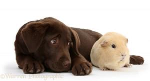 Chocolate Labrador pup and Guinea pig