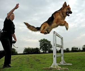 ... police dogs serving within North Yorkshire Police are German Shepherds