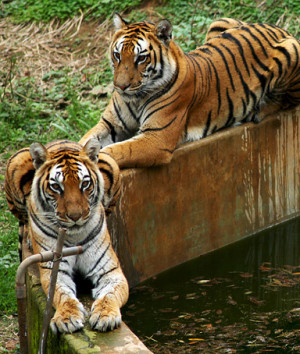 Tigers And People Enjoying In Water
