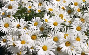 Daisy wallpaper 1920x1200
