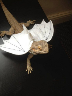 This makes me happy! Dragon wings Bearded dragon clothes by ...