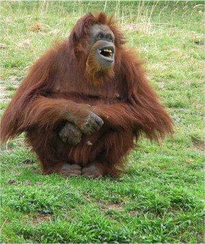 orangutanlaughing Belly Laughs!