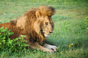 majestic male lion reveals his 'inner cub' as he becomes fixated ...