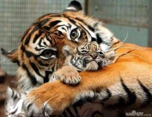 Animals Tigers