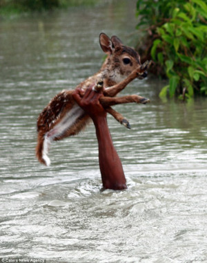 ... risked his own life to save a helpless baby deer from drowning
