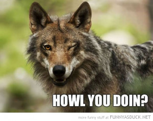 ridiculously photogenic wolf animal wink howl you doing funny pics ...