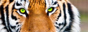 ve Got the Eye of the Tiger…