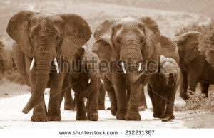 female matriarch elephant mother leads her herd including all the ...