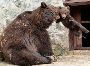 Angry Mother Bear Photos