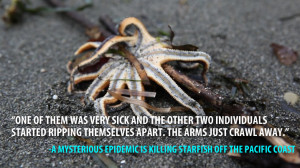 Why are starfish dying off the Pacific Coast? The reporters who broke ...