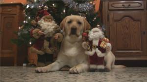 Funny Labrador Inspects Santa Claus! Adorable Lab Video! - Labrador ...