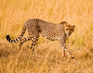 ... cheetah three cheetah in the bush kavels cheetah cheetah poems