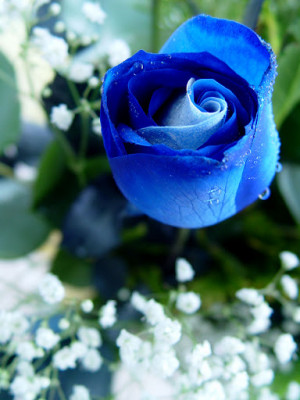 Blue Rose is new to the flower kingdom