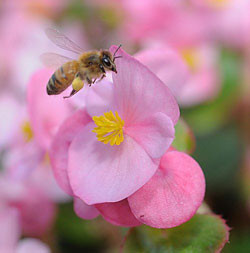 Worker bee with a begonia pollen load. Photo credit: Kathy K Garvey.