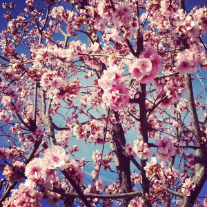 Break open a cherry tree and there are no flowers, but the spring ...