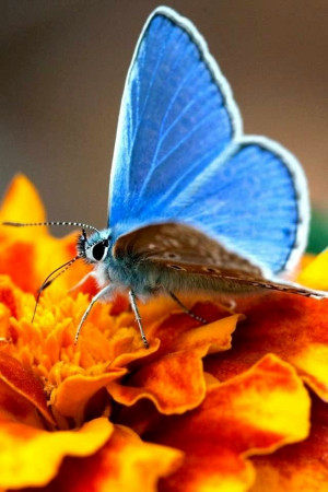Butterfly on marigold image via WallpapersHD