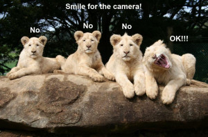 funny animal pictures, lion cubs, baby lions, baby animal pictures