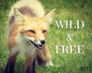 Forest Animal Red Foxes
