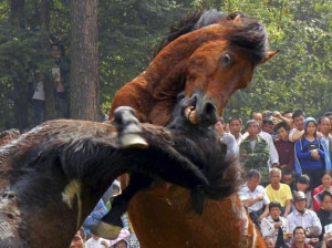 People watch horses fight during a traditional local event held by the ...
