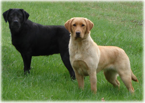"The Labrador dog are generally known as ""Lab"""