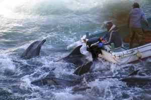 ... Dolphins are caught off Taiji, Wakayama Prefecture, on Saturday. | SEA