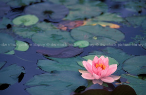 water lily lilies waterlily waterlilies water lily water lilies