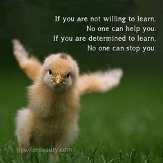 ... determination animal and birds birdnot chicken baby animals angry