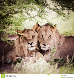 Lion And Lioness Love Quotes Lioness and lion - viewing