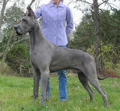 great dane dogs