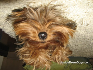 Nina the Yorkshire Terrier (Yorkie) from São Paulo, Brazil. Submitted ...