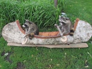 funny-raccoons.jpg