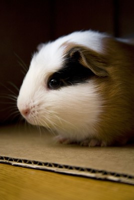 What happens when your guinea pig, rat or mouse arrives?
