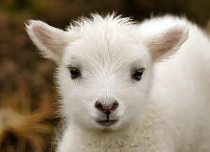 animal, animals, cute, fluffy, lovely, pets, sheep
