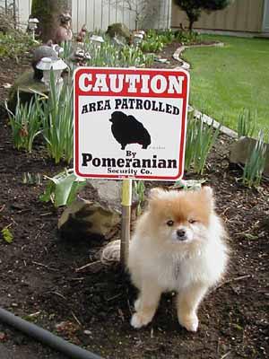 Pomeranian as guard dog