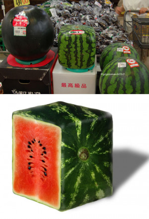 Funny photos funny square watermelon Japan