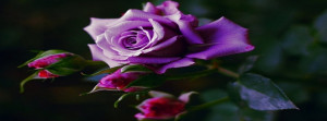 Purple rose timeline cover, roses timeline cover photo