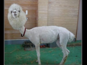 Funnies pictures about Shaved Llama