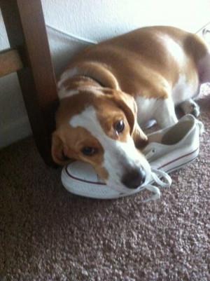 Funny Beagle Funny beagle