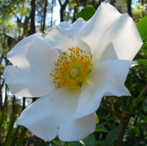 Cherokee Rose Stringy Cow