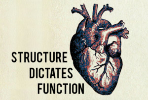 ... Physiology #Structure #anatomy #anatomy and physiology #heart #quotes
