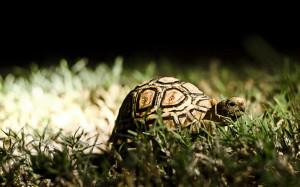 Slow Turtle Wallpaper