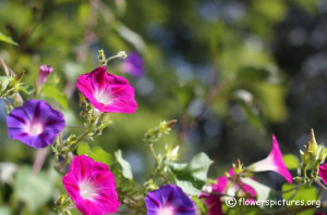 Morning Glory Flower Click