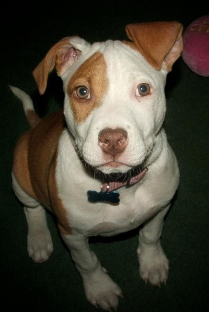 Gallery For Cute Pitbull Dog Quotes