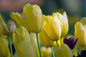 yellow tulips, black tulips from Istanbul tulip festival (pentax k10d)
