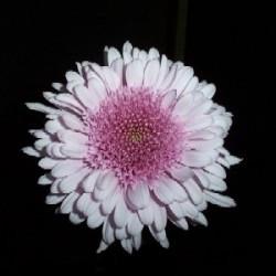 flower description flower options quantity please select half box ...