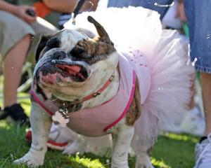 real bulldog beauty queen english bulldog parking