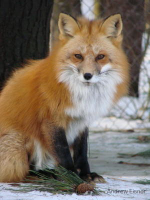 Red Fox Aeisnor