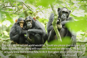 Chimpanzees in Uganda | USA.gov | USAid Africa Bureau