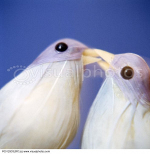 Love birds. Pair of model doves kissing. The dove is often used to ...