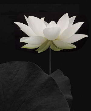 Lotus Flower - IMGP7163-bw by Bahman Farzad, via Flickr